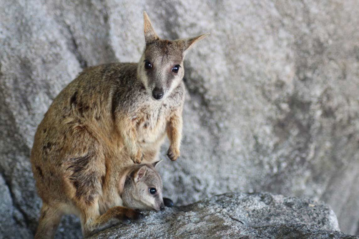 wallaby australie wildlife