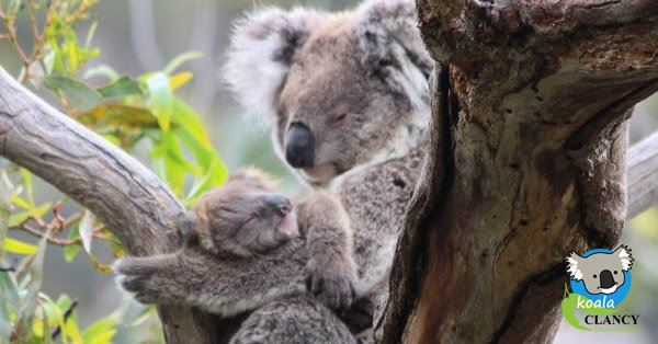 australie koala foundation